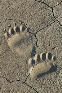 Footprints of coastal grizzly bear. Lake Clark National Park, Alaska. by Brenda Tharp