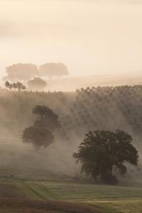 Italy, Tuscany. Fog drifts around vines and olive trees at sunrise. by Brenda Tharp