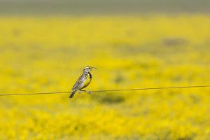 Male Western Meadowlark, Sturnella neglecta, perches on a fence wire in front of a field of yellow  by Brenda Tharp