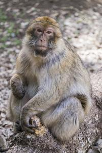 Morocco. An adult macaque monkey in the cedar forests of the Atlas Mountains. by Brenda Tharp