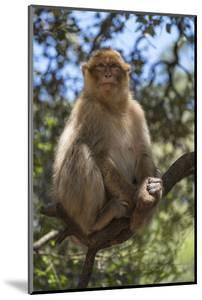 Morocco, Barbary Apes, or Macaques, in the High Atlas Mountains by Brenda Tharp