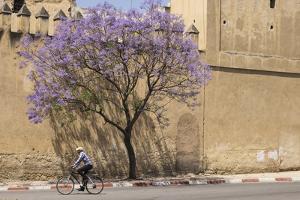 Morocco, Fes. Cyclist Rides Pass a Blooming Jacaranda Tree by Brenda Tharp