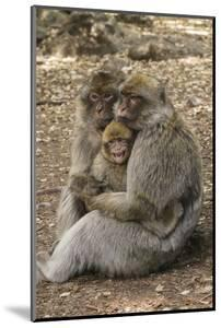 Morocco, High Atlas Mountains. Adult Macaque Monkeys Console their Crying Baby by Brenda Tharp