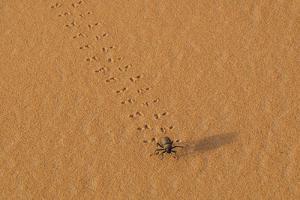Morocco, Sahara. Dung beetle, Scarabaeus sacer, walks across sand leaving tracks. by Brenda Tharp