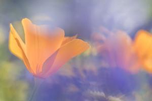Out of focus lupines create a wash of color over California Poppies in a meadow, California. by Brenda Tharp