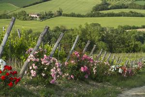 Roses line the ends of vineyard rows along a pathway in Umbria's wine country near Todi. by Brenda Tharp