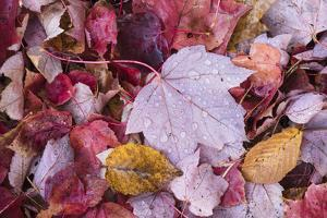 USA, Michigan. Autumn leaves on the forest floor in the Keweenaw Peninsula. by Brenda Tharp