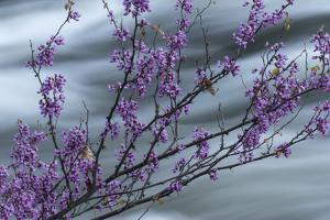 Western Redbud, Cercis occidentalis, blooms on a branch over the Merced River, Yosemite National Pa by Brenda Tharp