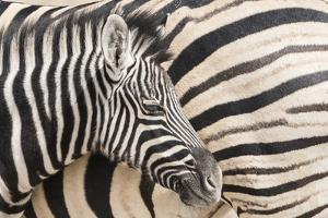 Young Burchell's zebra, nestles against its mother while they rest, Etosha National Park, Namibia. by Brenda Tharp