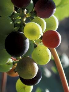 Cab Franc, Grape Cluster in Veraison, Seven Hills Vineyard, Umatilla County, Oregon, USA by Brent Bergherm