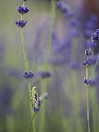 Grasshopper with Lavender, Washington, USA