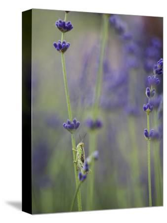 Grasshopper with Lavender, Washington, USA