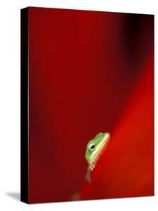 Green Gecko on Red Agave, Maui, Hawaii, USA by Brent Bergherm