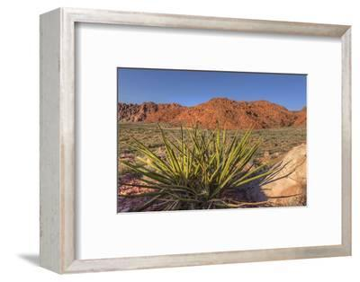 Nevada. Red Rock Canyon. Mojave Yucca Amidst the Desert Landscape