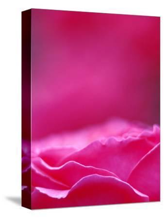 Pink Rose, Portland Rose Garden, Oregon, USA