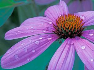 Purple Cone Flower with Water Drops by Brent Bergherm