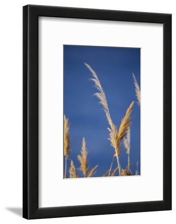 Washington, Walla Walla Co. Mcnary NWR, Ravenna Grass, Pampas Grass