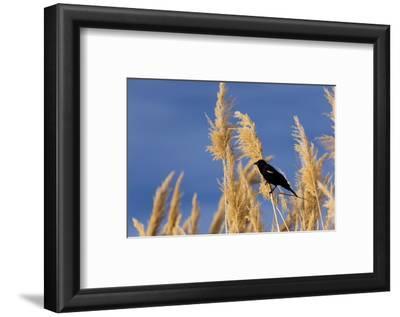 Washington, Walla Walla. Mcnary NWR, Ravenna Grass