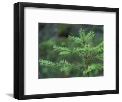 Young Douglas Fir Tree, North Cascades National Park, Washington, USA