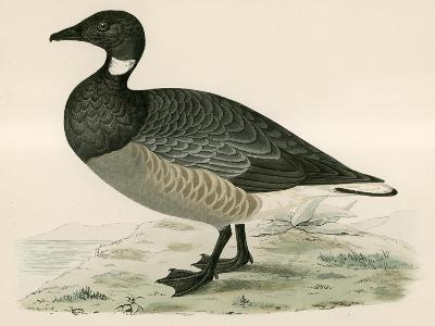 Brent Goose-Beverley R. Morris-Giclee Print