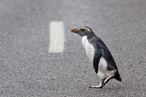 A Fiordland Crested Penguin (Eudyptes Pachyrhynchus) Crosses the Road Heading Back to Sea by Brent Stephenson