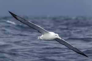 Southern Royal Albatross (Diomedea Epomophora) Flying Low over the Sea by Brent Stephenson