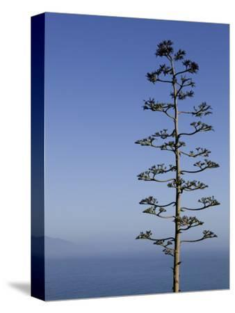 An Agave Plant (Agave Americana), Overlooking Pacific Ocean