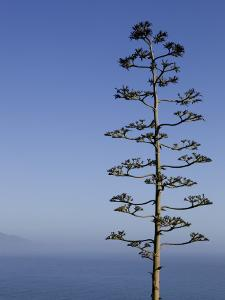 An Agave Plant (Agave Americana), Overlooking Pacific Ocean by Brent Winebrenner