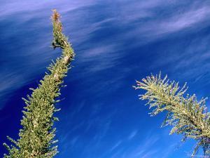 Boojum Tree Or Cirio, San Ignacio, Baja California Sur, Mexico by Brent Winebrenner