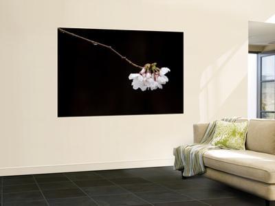 Cherry Blossom Detail
