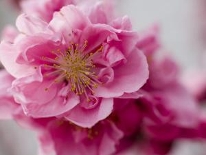 Detail of Cherry Blossom in Koraku-En Park by Brent Winebrenner
