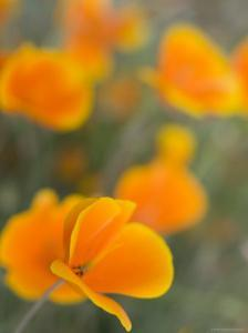 Golden Poppies on Figueroa Mountain, Los Padres National Forest, California by Brent Winebrenner