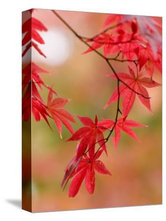Red Maple Leaves at Okochi-Sanso Villa Teahouse and Gardens