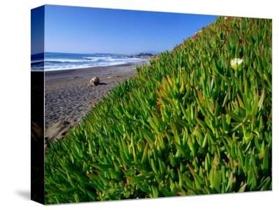 Succulents along the San Simeon Coastline, San Simeon, California, USA