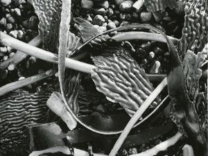 Abstraction of torn kelp blades tangled in stipes, c. 1965 by Brett Weston