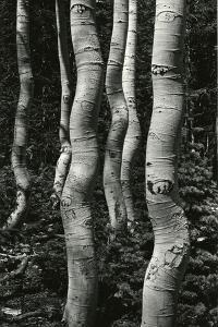 Aspens, Utah, 1972 by Brett Weston