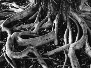 Banyan Roots, Hawaii, 1978 by Brett Weston
