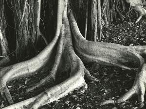 Banyan Roots, Hawaii, 1979 by Brett Weston