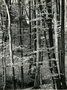 Beech Forest, Luxembourg, 1971 by Brett Weston