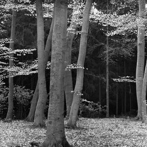 Beech Forest, Netherlands, 1971 by Brett Weston