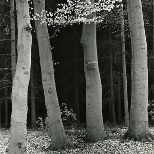 Beech Forest, Netherlands, 1971 by Brett Weston
