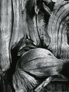Bristlecone Pine, California, 1977 by Brett Weston