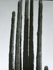 Cactus, Baja, c.1965 by Brett Weston