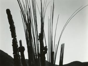Cactus, Baja California, 1965 by Brett Weston