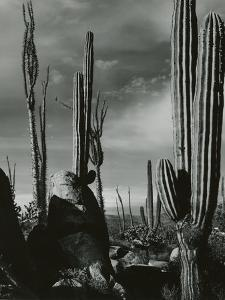 Cactus, Baja, California, 1968 by Brett Weston