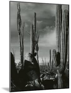 Cactus, Baja, California, 1968 by Brett Weston