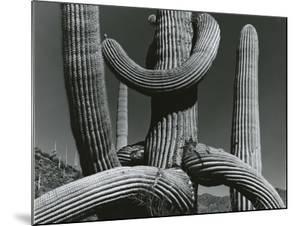 Cactus, c. 1970 by Brett Weston