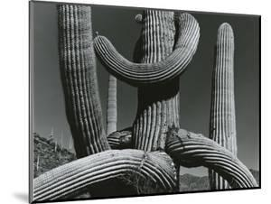 Cactus, c. 1970 by Brett Weston