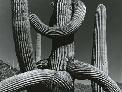 Cactus, c. 1970