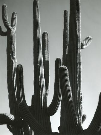 Cactus, Saguaros, Arizona, 1964